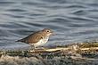 Sandpiper-Spotted--004-FJBergquist.jpg