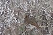 Sparrow-Fox-006-FJBergquist.jpg