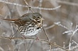 Sparrow-Fox-010-FJBergquist.jpg