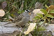 Sparrow-White-crowned-001-FJBergquist.jpg