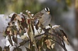 Sparrow-White-crowned-003-FJBergquist.jpg