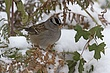 Sparrow-White-crowned-004-FJBergquist.jpg