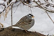 Sparrow-White-crowned-006-FJBergquist.jpg