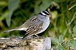 Sparrow-White-crowned-010-FJBergquist.jpg