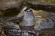 Sparrow-White-crowned-011-FJBergquist.jpg