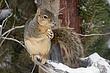 Squirrel-Fox-001-FJBergquist.jpg