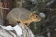 Squirrel-Fox-003-FJBergquist.jpg