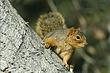 Squirrel-Fox-023-FJBergquist.jpg