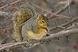 Squirrel-Fox-025-FJBergquist.jpg
