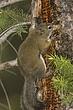 Squirrel-Red-007-FJBergquist.jpg