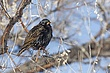 Starling-European-001-FJBergquist.jpg