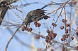 Starling-European-005-FJBergquist.jpg