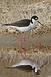 Stilt-Black-necked-001-FJBergquist.jpg