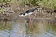 Stilt-Black-necked-007-FJBergquist.jpg