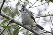 TITMOUSE BLACK-CRESTED-001-FJBergquist.jpg