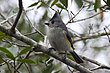 TITMOUSE BLACK-CRESTED-005-FJBergquist.jpg