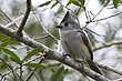 TITMOUSE BLACK-CRESTED-006-FJBergquist.jpg