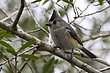 TITMOUSE BLACK-CRESTED-008-FJBergquist.jpg