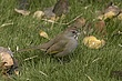 TOWHEE GREEN-TAILED-003-FJBergquist.jpg