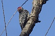 WOODPECKER LADDER-BACKED-001-FJBergquist-2.jpg