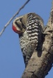 WOODPECKER LADDER-BACKED-002-FJBergquist-2.jpg