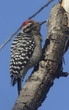 WOODPECKER LADDER-BACKED-003-FJBergquist.jpg