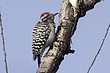WOODPECKER LADDER-BACKED-004-FJBergquist.jpg