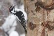 Woodpecker-Downy-002-FJBergquist.jpg