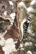 Woodpecker-Downy-010-FJBergquist.jpg