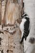 Woodpecker-Downy-013-FJBergquist.jpg