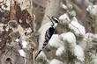 Woodpecker-Downy-017-FJBergquist.jpg