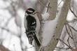 Woodpecker-Downy-029-FJBergquist.jpg
