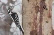 Woodpecker-Downy-034-FJBergquist.jpg