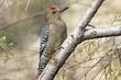 Woodpecker-Gila-001-FJBergquist.jpg