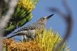 Woodpecker-Gila-021-FJBergquist.jpg