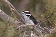 Woodpecker-Hairy-001-FJBergquist.jpg