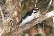 Woodpecker-Hairy-002-FJBergquist.jpg