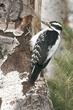 Woodpecker-Hairy-004-FJBergquist.jpg