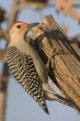 Woodpecker-Red-bellied--006-FJBergquist.jpg