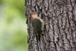 Woodpecker-Red-bellied--017-FJBergquist.jpg