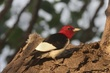 Woodpecker-Red-headed--001-FJBergquist.jpg