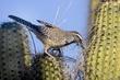 Wren-Cactus--005-FJBergquist.jpg