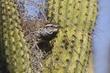 Wren-Cactus--006-FJBergquist.jpg