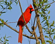 A Cardinal In The Marsh           NFP  s.jpg