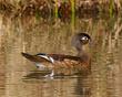 A Wood Ducks Golden Morning          NFP  s.jpg