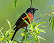An Orchard Oriole In The Sun            NFP  s.jpg