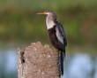 Anhinga At Rest           NFP  s.jpg