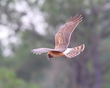 Female Northern Harrier The Look Back         NFP  s.jpg