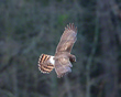 Female Northern Harrier Working The Tree Line         NFP  s.jpg