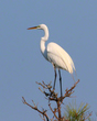 Great Egret On Spring Overlook        NFP  s.jpg